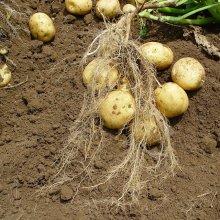 詳細写真1: (馬鈴薯)種ジャガイモ【トウヤ】【1kg】大粒で早生、育てやすい品種