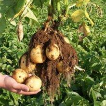 詳細写真3: (馬鈴薯)種ジャガイモ【トウヤ】【1kg】大粒で早生、育てやすい品種