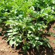 画像4: (馬鈴薯)種ジャガイモ【トウヤ】【1kg】大粒で早生、育てやすい品種 (4)
