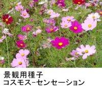【景観用種子】コスモス|優良品種|秋桜【500g入り/500平方m用】