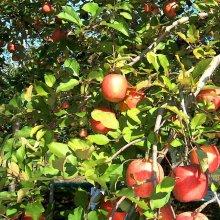 詳細写真2: [軽]高酸度-リンゴ酢(酸度10%)【100L(20Lx5箱)】【食用可】【加工食品用】【陸送地域のみ】