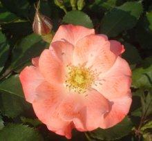 詳細写真3: 一般農業園芸用《高酸度-醸造酢(酸度10%)》【1L】
