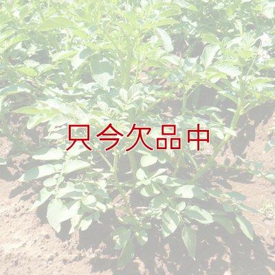 画像4: [2017年は終了](馬鈴薯)種ジャガイモ【キタアカリ】【1kg】ダントツのビタミンC含有量
