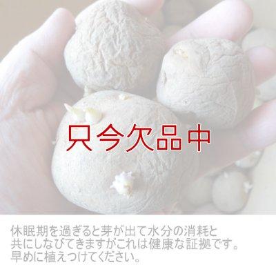 画像5: [2017年は終了](馬鈴薯)種ジャガイモ【キタアカリ】【1kg】ダントツのビタミンC含有量
