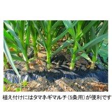 詳細写真3: マイルドエックス|種子用大蒜|臭いの残らない国産ニンニク【100g】