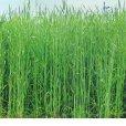 ライ麦|ハルミドリ【極早生種】