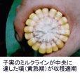 サイレージコーン|飼料用トウモロコシ(中早生種)|NS118スーパー