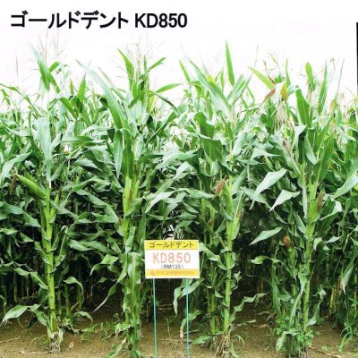 ゴールドデント|KD850