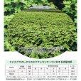 画像6: 【緑肥用種子】エビスグサ|線虫抑制|マメ科【1kg】カネコ種苗製