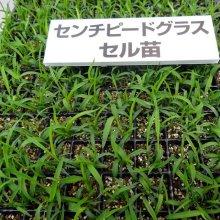 詳細写真1: 【暖地型芝草】センチピードグラス|Centipede grass【管理が楽々】