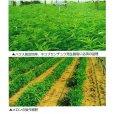 画像5: クロタラリア|家庭園芸・実験栽培用【100g】【送料無料】【時間指定不可】