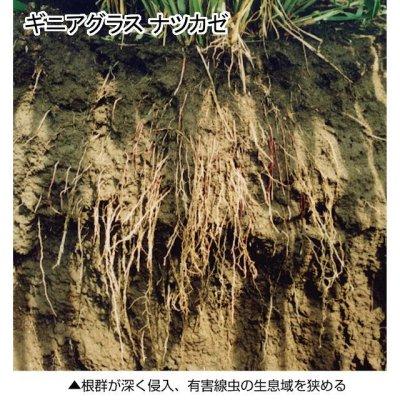 【牧草種子】【緑肥種子】ナツカゼ|ギニアグラス【1kg】硬盤破砕|線虫抑制|除塩|カネコ種苗製