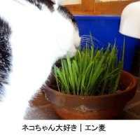 【猫草用種子】えん麦|薬剤無処理品【1kg】