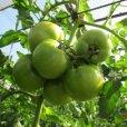 トマト栽培に最適