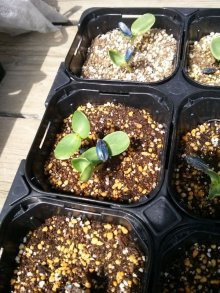 詳細写真1: [2020年3月より出荷・予約受付中]【緑肥用】ヒマワリ《ハイブリッドサンフラワー》草丈150cm|リン酸吸収促進|景観形成【200g】カネコ種苗