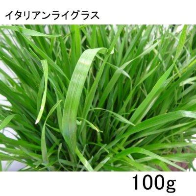イタリアンライグラス種子100g