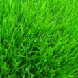 画像3: 西洋芝のタネ J.ガーデングラス(芝生の種)【1L/約20平方メートル分】 (3)
