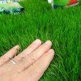 画像2: 西洋芝のタネ J.ガーデングラス(芝生の種)【1L/約20平方メートル分】 (2)