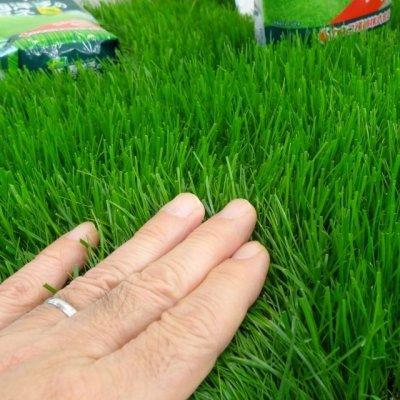 画像2: 西洋芝のタネ J.ガーデングラス(芝生の種)【1L/約20平方メートル分】