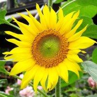 【緑肥用】ヒマワリ《ハイブリッドサンフラワー》草丈150cm|リン酸吸収促進|景観形成【200g】カネコ種苗