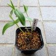 Crotalaria  クロタラリアの苗