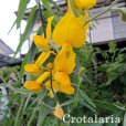 クロタラリアの花 Crotalaria