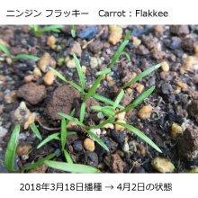 詳細写真1: 【有機種子】ニンジン フラッキー【大袋2dl】Carrot : Flakkee