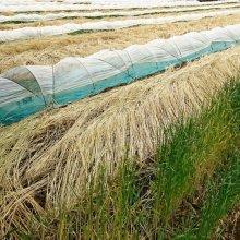 詳細写真1: 【牧草種子】ライ麦|ハルミドリ【極早生種】【飼料作物用】【20kg】カネコ種苗製