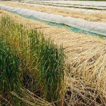 詳細写真2: 【牧草種子】ライ麦|ハルミドリ【極早生種】【飼料作物用】【20kg】カネコ種苗製