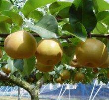 詳細写真3: バラとバラ科植物専用《低分子・低粘度「2%」キトサン溶液》【即効性】【1L容器】