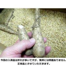 詳細写真1: [値下げ]ナガイモ-ゲンコツ次郎-カネコ種苗選抜-種長芋【500g】Mサイズ|らくらくナガイモシリーズ