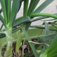 詳細写真1: 肥大力K【2kg】肥大促進カリウム葉面散布肥料