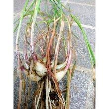 詳細写真1: 【鹿児島産】エシャロット(生食用ラッキョウ)【1kg】健康野菜(栽培用種球)
