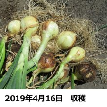 詳細写真1: [完売・次回は2020年7月頃販売します]【岡山産・種球】冬どりフレッシュオニオン|健康野菜(栽培用種球)150g|約30球入り