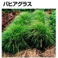 画像2: 【牧草種子】バヒアグラス【100g/25平方m分】暖地型牧草|緑肥 【送料無料】【時間指定不可】  (2)