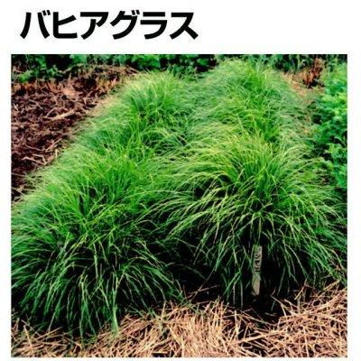 画像2: 【牧草種子】バヒアグラス【100g/25平方m分】暖地型牧草|緑肥 【送料無料】【時間指定不可】