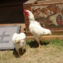 詳細写真1: 愛玩家禽・採卵成鶏用飼料-ゴールドエース【20kg】高品質新配合フード 防カビ剤不使用
