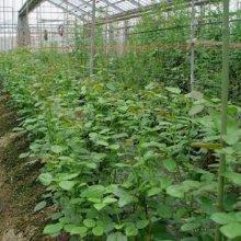 詳細写真2: 天然硫酸苦土肥料「キーゼライト(粉体)」【15kg】「持続性のある水溶性マグネシウム」